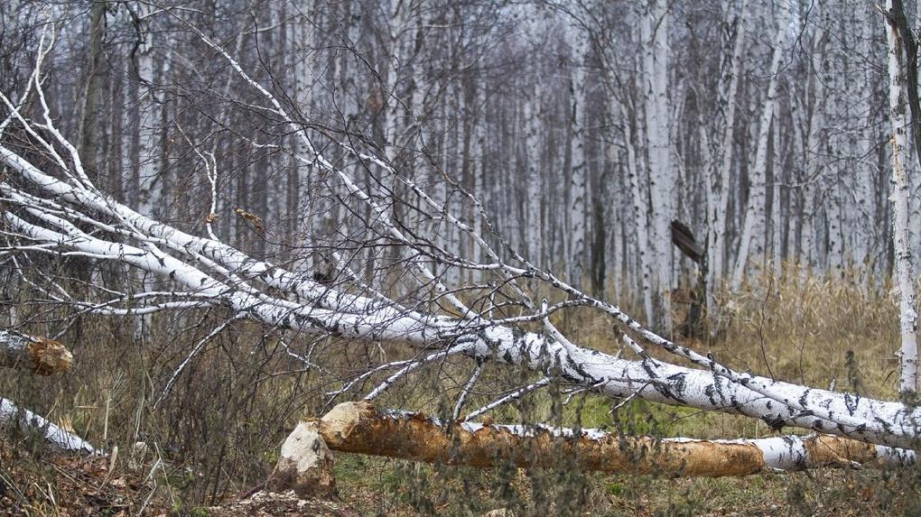 Суд отправил в колонию предпринимателей, которые два года заставляли рабочих незаконно вырубать лес