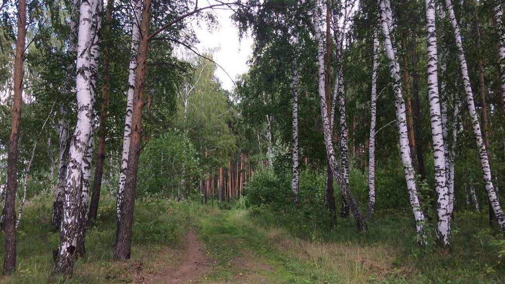 Вековой лес на Широкой Речке застроят многоэтажками. Потому что по документам он — не лес