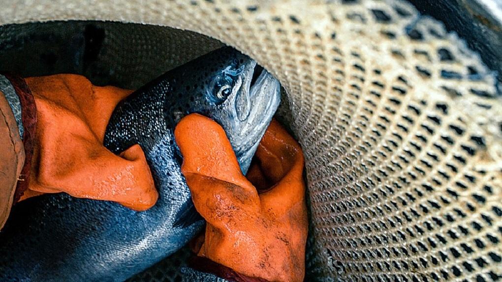 Глава рыбхоза, который выселяет единственную на Урале форелевую ферму, прокомментировал конфликт
