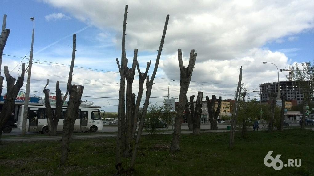 «Погубили деревья»: в Екатеринбурге тополя превращают в торчащие из земли палки