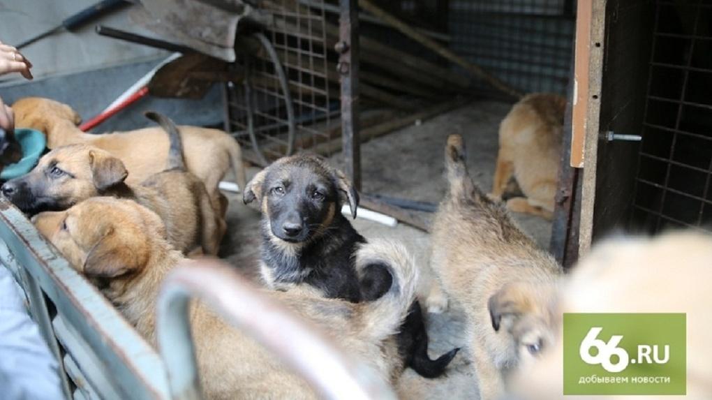 «Я знаю о тотальном умерщвлении». Зоозащитник отправил прокуроров спасать бездомных собак Екатеринбурга
