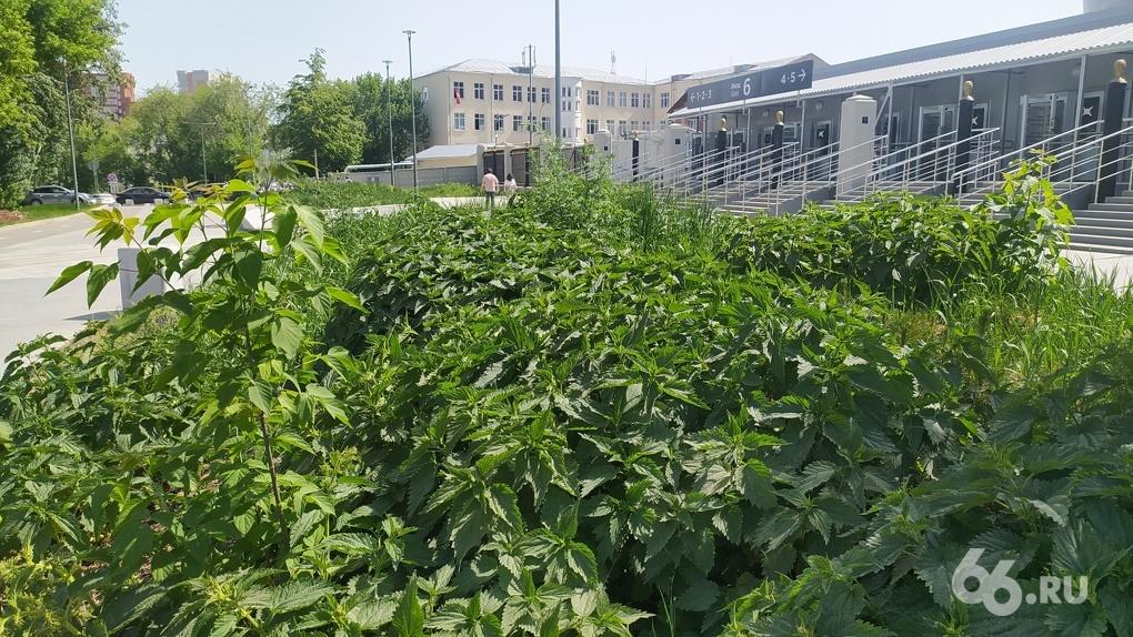 Благоустроенные к ЧМ-2018 газоны у Центрального стадиона заросли лопухами и крапивой. Фото