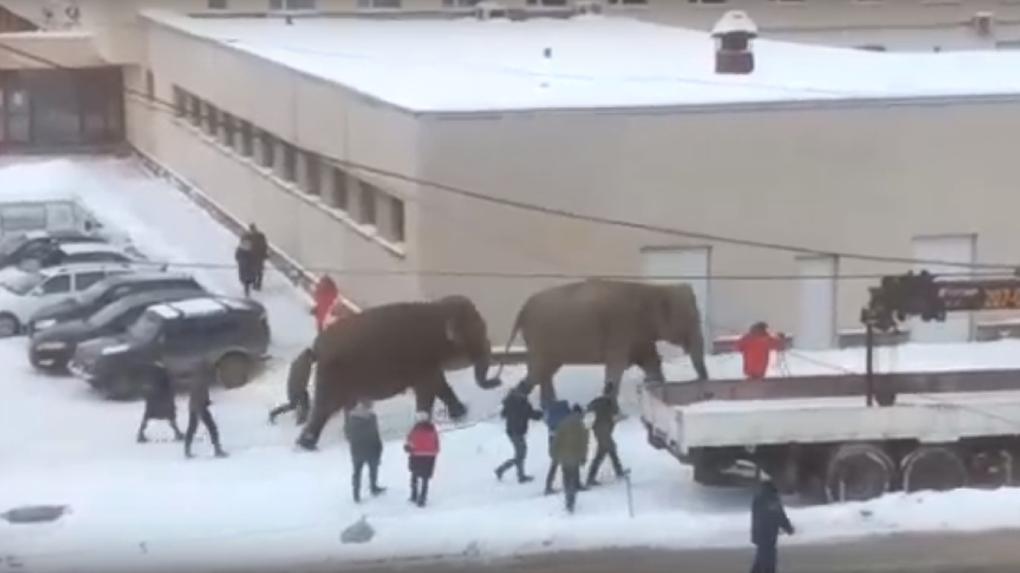 Два слона сбежали из цирка и пошли гулять по улицам. Видео