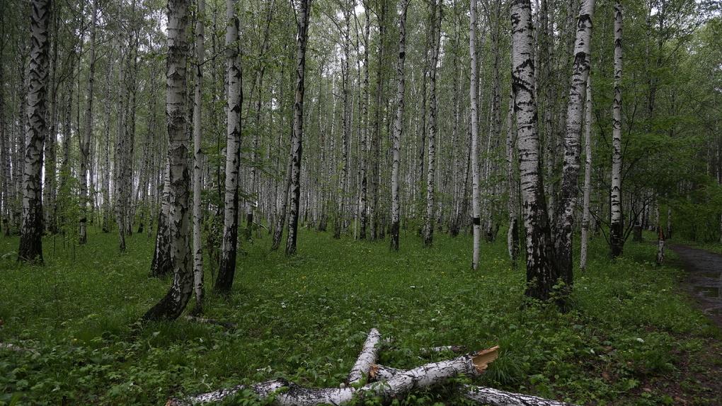 Потенциальные «березовые рощи»: в Екатеринбурге под застройку отдают занятые лесом участки земли