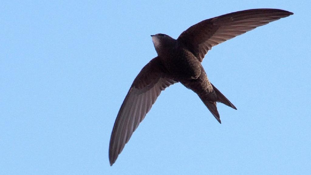 На трассе под Нижним Тагилом нашли десятки умирающих стрижей. Птицы гибнут из-за холода