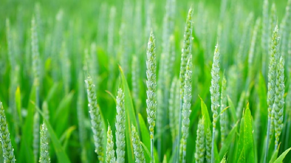Обработка озимых зерновых культур от сорняков