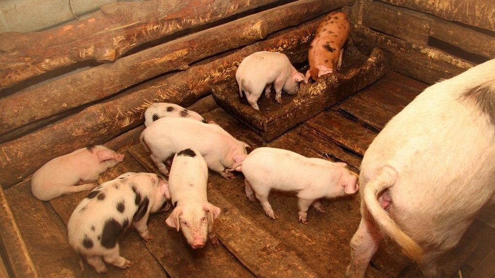 Опасаются протестов? Свинокомплекс, уничтоживший гектары леса в Полевском, тайно перевозят в другой город