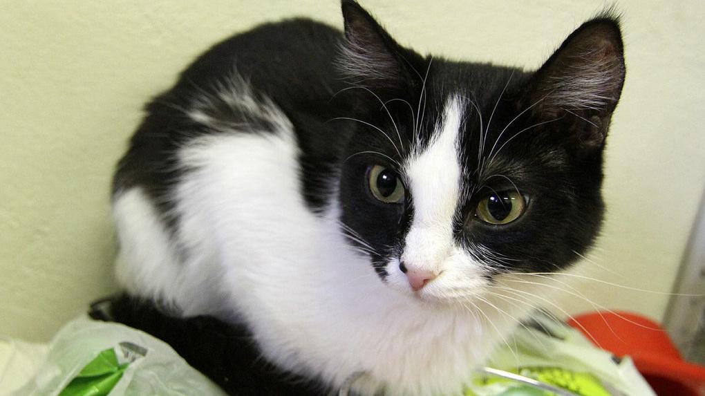 Разработчики игр объяснили, почему кошки всегда приземляются на четыре лапы. Понятное видео