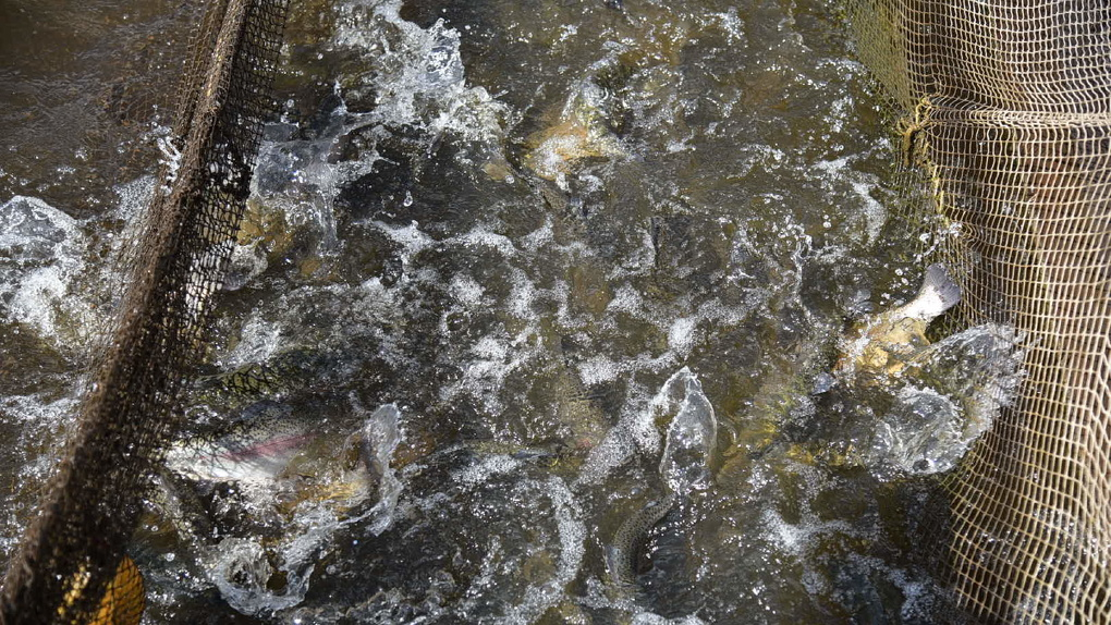 Владельцам единственной на Урале форелевой фермы полностью открыли доступ к их рыбе