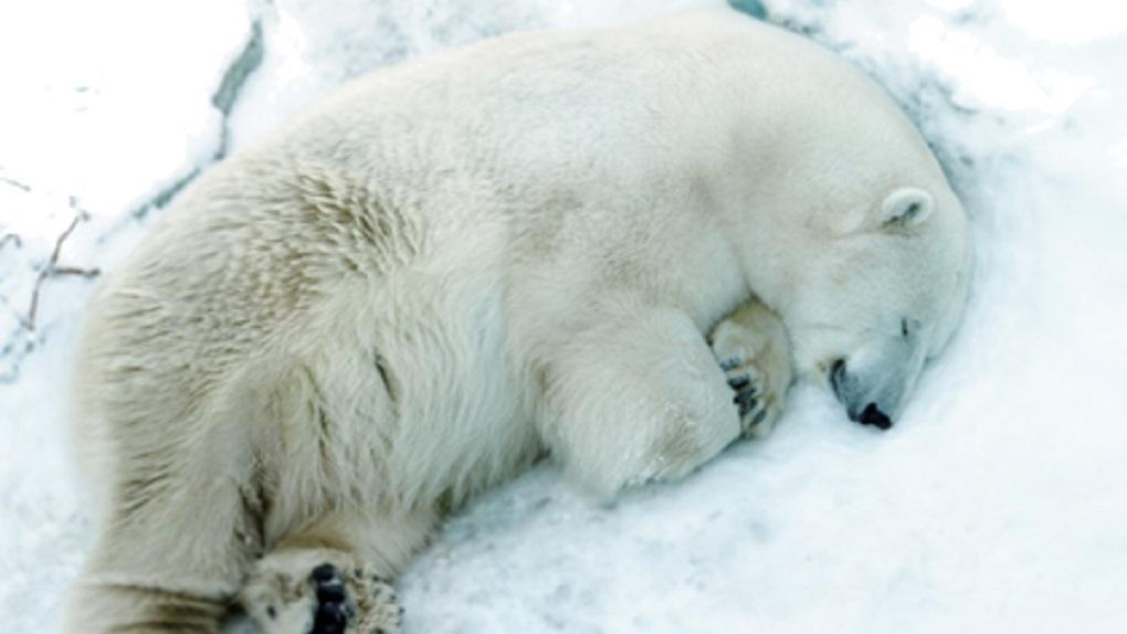 В прокуратуре назвали настоящую причину смерти белого медведя Умки