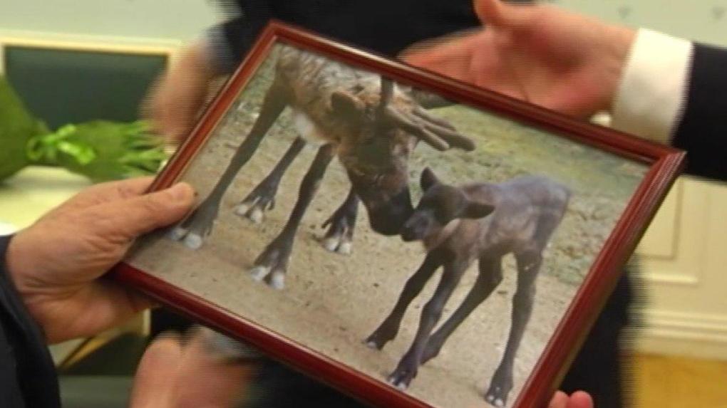 Эдуард Россель получил в подарок на юбилей живого оленя