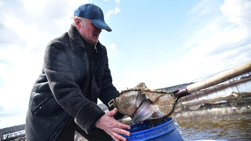 Владельцы единственной на Урале форелевой фермы забрали рыбу, к которой их не подпускали три месяца. Фото