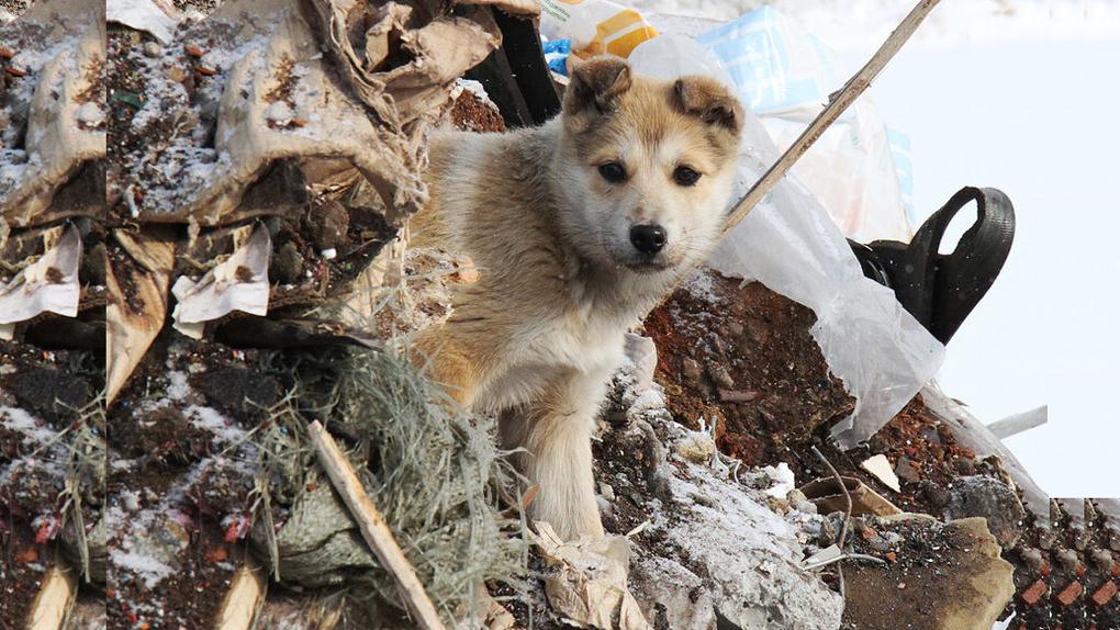 В Свердловской области чипированные собаки дают потомство, хотя их должны были стерилизовать