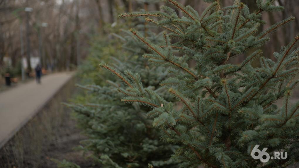 Студенты Горного будут охранять Зеленую рощу от похитителей газонов и елок