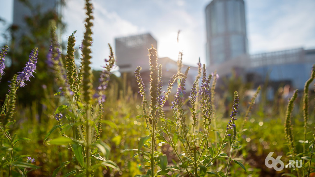 Эхинацея для города. В Екатеринбурге открыли «Сад трав» — настоящее дикое поле среди стерильных газонов