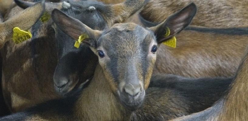 Бионорд или Гряземес? Читатели 66.ru выберут имя нетрадиционному козлу-осеменителю из Верхней Пышмы