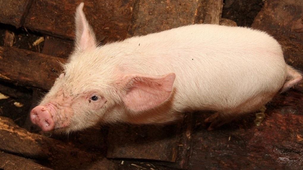 Свиньи федерального агрохолдинга уничтожили гектары уральского леса. Последствия видно из космоса