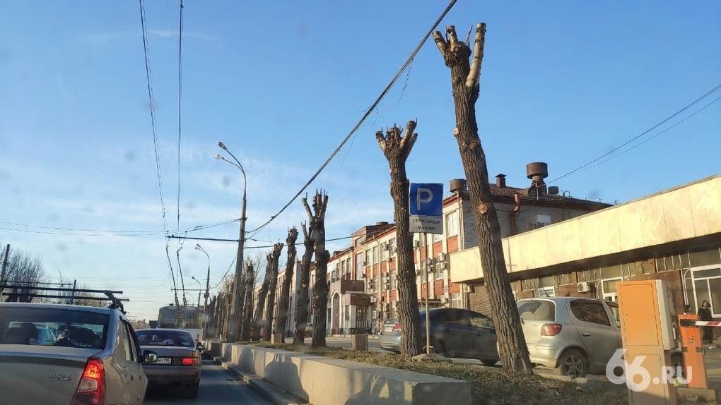 В Екатеринбурге целый год меняли правила благоустройства, но снова обрезают деревья «под ствол». Фото