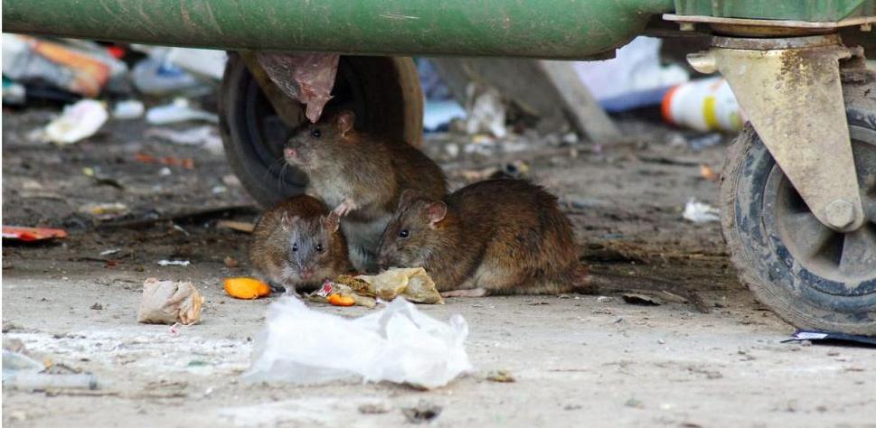 Крысы атакуют Екатеринбург: откуда на городские помойки пришли орды грызунов и кто обязан их уничтожить