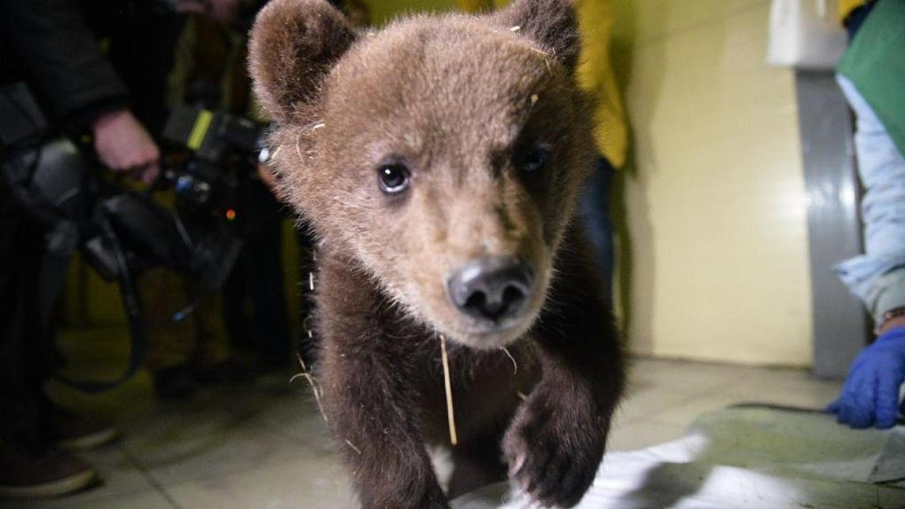 Из Кольцово в Хабаровск отправили спасенных от голода медвежат – там их вырастят и отпустят на волю. Фото
