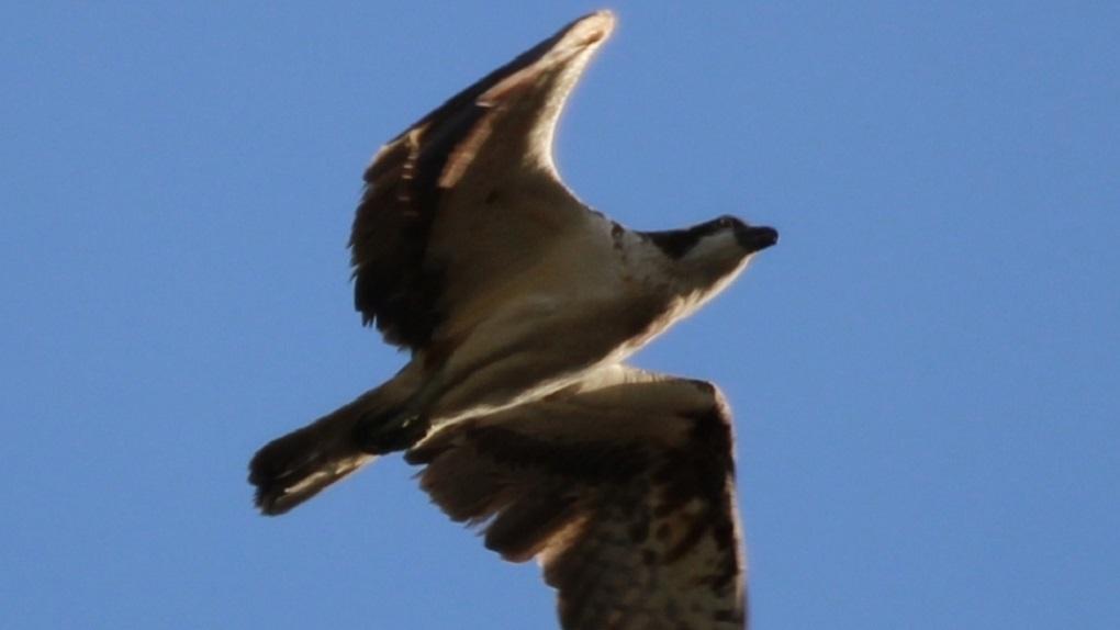 Над Шарташом впервые заметили краснокнижного орла. Фото