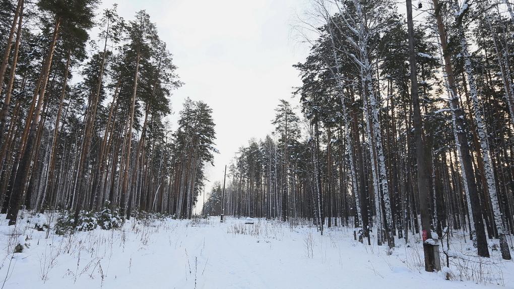 Чтобы построить уральское «Сколково», спилят 230 га деревьев. Это 329 футбольных полей