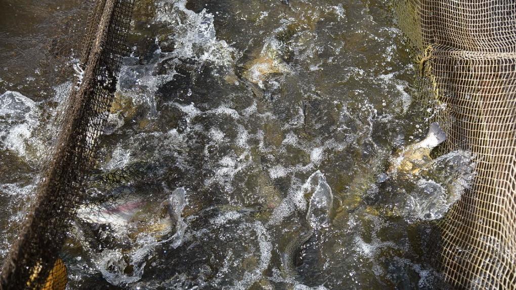 Владельцы единственной на Урале форелевой фермы забирают рыбу, к которой их не подпускали месяцами. Видео
